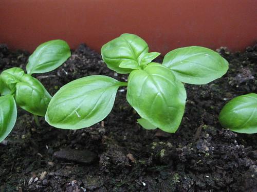 Piante da gustare pianta lo stress for Semina basilico in vaso