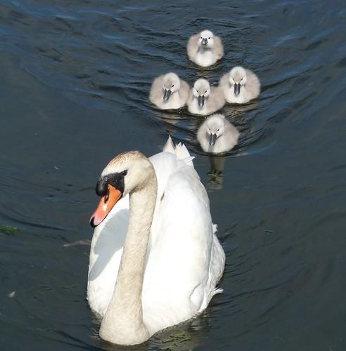 Swan+Cygnets