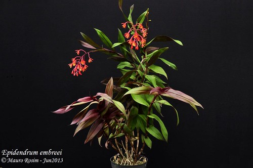 Epidendrum embreei by Mauro Rosim