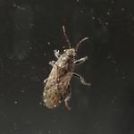 tarka bodobács - Heterogaster urticae