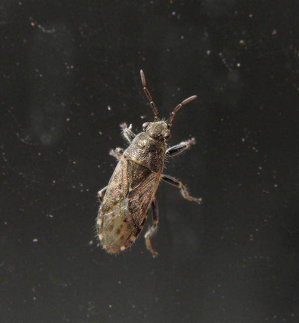 Heterogaster urticae - tarka bodobács