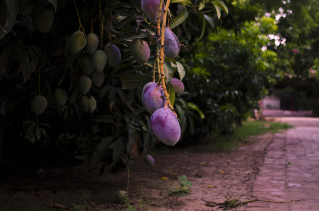 The 'Sensation' mango