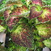 Small photo of Coleus Glennis