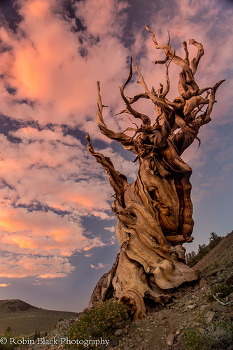 Ancient Bristlecone Sunset (Pinus longaeva)