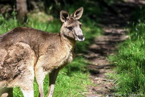 Large male Eastern Grey Kangaroo