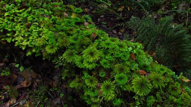 Umbrella Moss Forests
