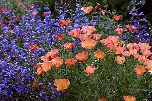 Eschscholzia Cal Poppy 'Apricot Chiffon' & Penstemon heterophyllus 'Blue Springs' ( natives )