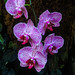 Lavender Orchids 3/14
