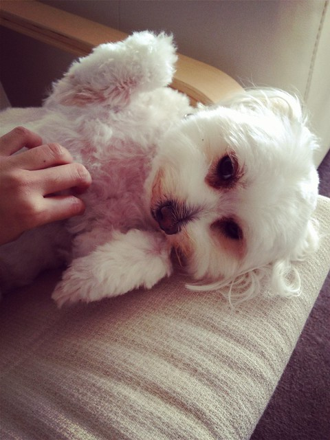Visiting Sydney: Bella the Maltese
