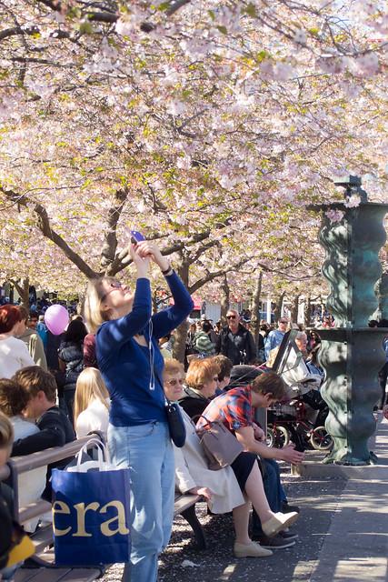 sakura in stockholm 10