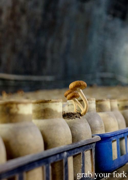 Chestnut mushrooms in the Li-Sun Exotic Mushrooms railway tunnel, Mittagong