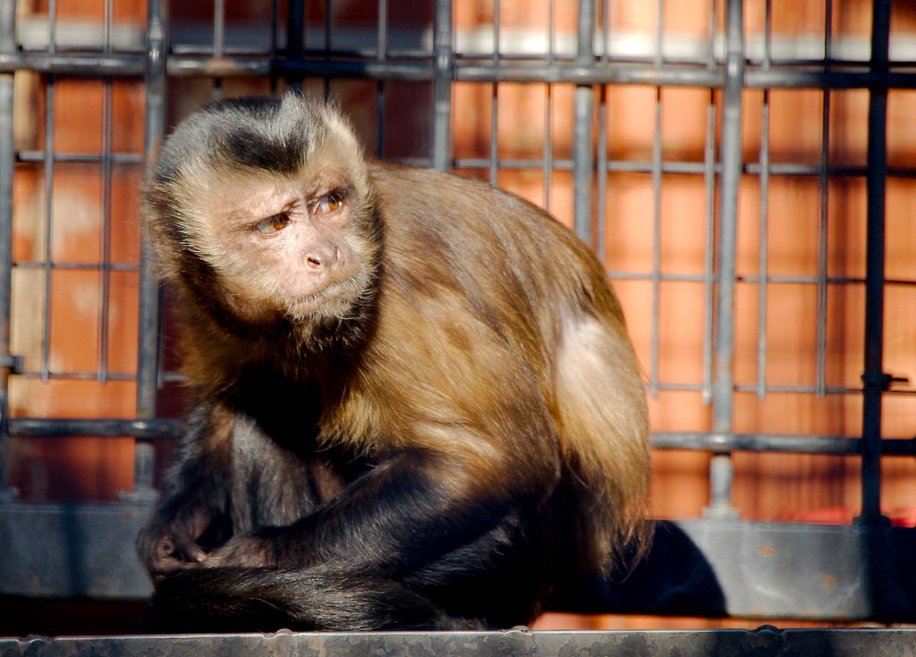 Hooded Capuchin (Cebus paella cay)_1