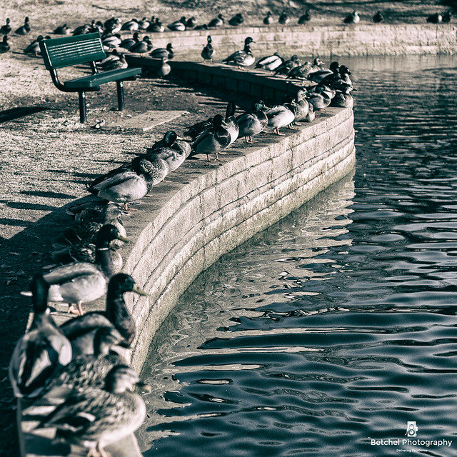 Hafer Park Ducks in a line