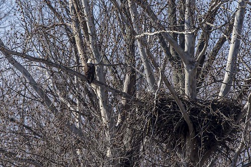 adult nest baldeagle indiana haliaeetusleucocephalus vallonia starvehollow
