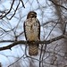 Small photo of Cooper's hawk (Accipiter cooperii)