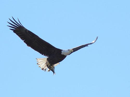 Bald Eagle female with fish 2-20150128