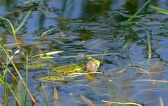 Laughing Frog (Pelophylax ridibundus)