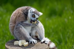ring tailed lemur eating parsnip