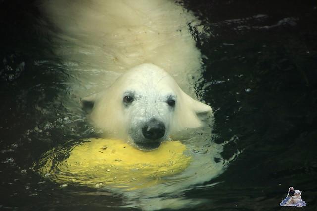 Eisbär Lili im Zoo am Meer Bremerhaven 14.05.2016 Teil 2 053
