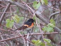 American Redstart/ Magee Marsh/ 5-14-2016