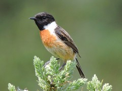 Birds- Thrushes, Chats, Hirundines and Flycatchers