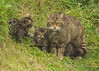 Scottish Wildcat with her 3 Kittens