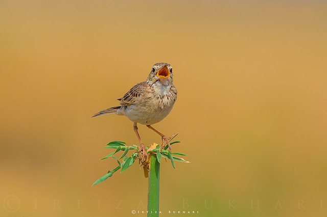 Nature's Melody ( Paddyfield pipit )