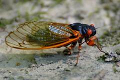 17 Year Cicada at Hell Hollow
