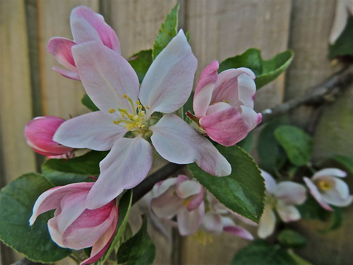 Apple Blossom Time at Last! by Irene_A_