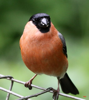 Bullfinch ( Male )