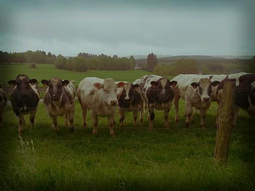les vaches de Nivelet
