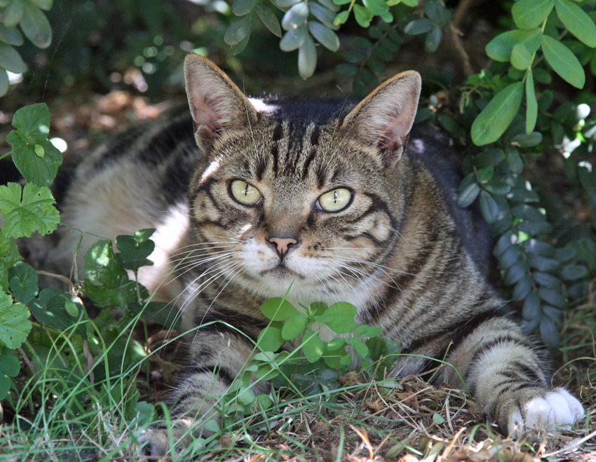Classic Tabby Cat in the Shade