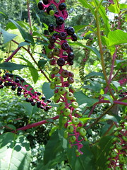 shrub(0.0), flower(0.0), chokecherry(0.0), produce(0.0), food(0.0), schisandra(0.0), berry(1.0), american pokeweed(1.0), plant(1.0), fruit(1.0),