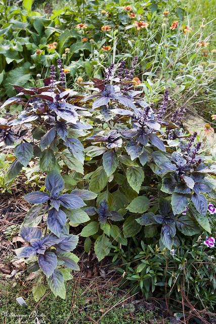 purplerufflebasil1