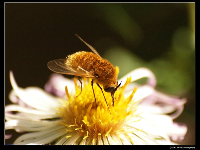Bee fly (Bombyliid sp.)