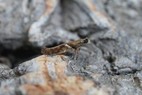 Caloptilia semifascia