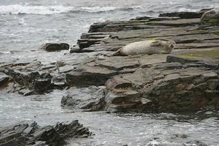 North Ronaldasy seal