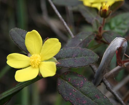 20130822_0849 Hibbertia dentata - Trailing Guinea Flower