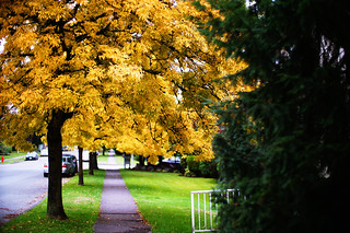Autumn Yellow in Vancouver