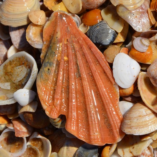 shells on the Atlantic Beach by Ginas Pics