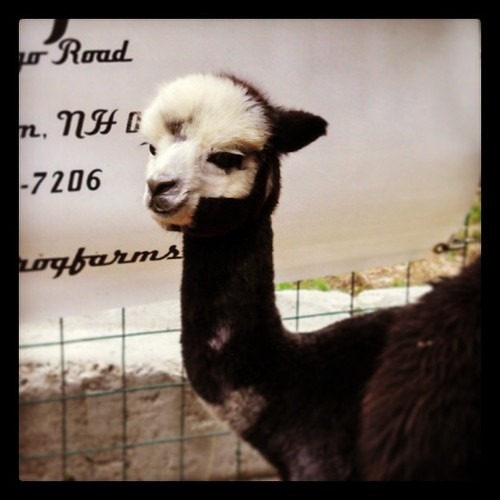 Baby Alpaca at Jenness Farm open house today #newhampshire #Alpaca #love