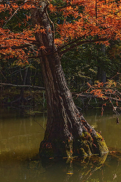 Mingo National Wildlife Refuge, in Puxico, Missouri, USA - bald cypress