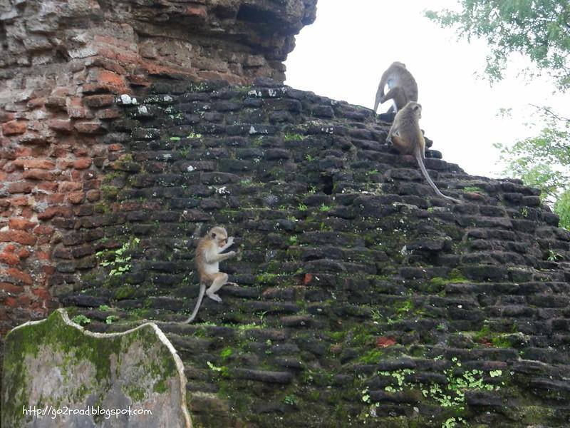 Сегодня в Полуннарува хозяйничают обезьяны