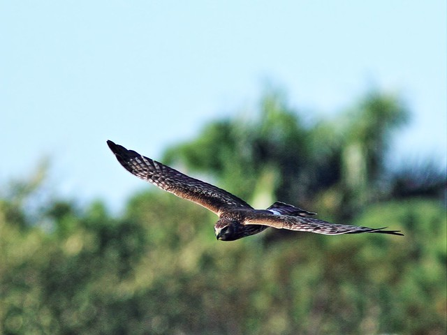 Northern Harrier 7-20131210