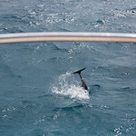 Spinner dolphin showing some tail, Nā Pali Coast