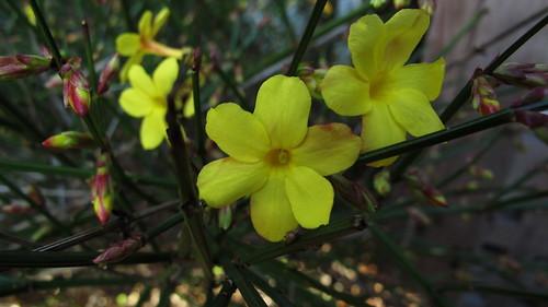 Jasmin d'hiver (Jasminum nudiflorum)