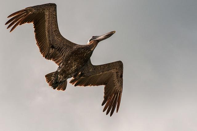 Pelícano pardo volando sobre las Islas Vírgenes Británicas.