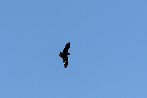 IMG_3813_Osprey