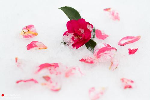 Camellia on Snow