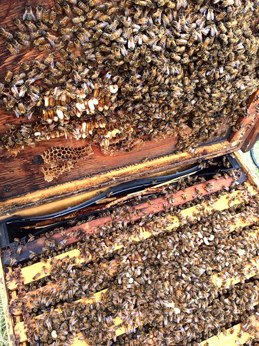 Booming hive out at Coyote Creek bee yard